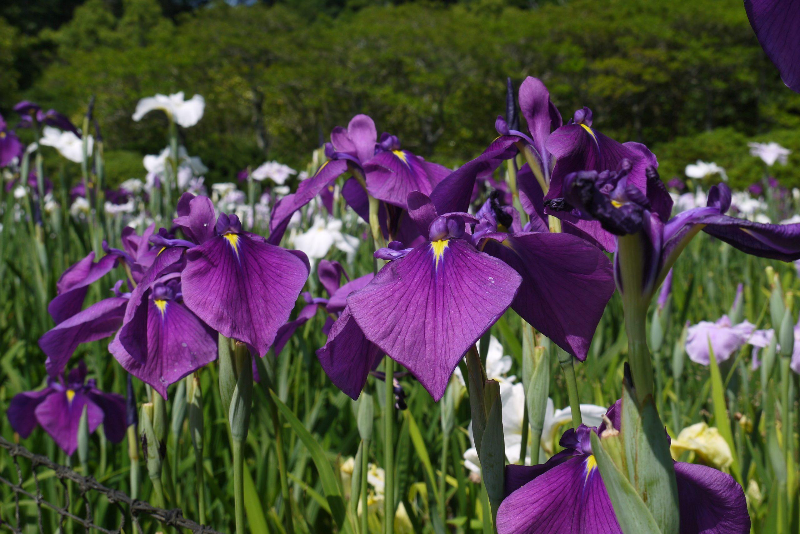 物見山総合公園の花菖蒲園