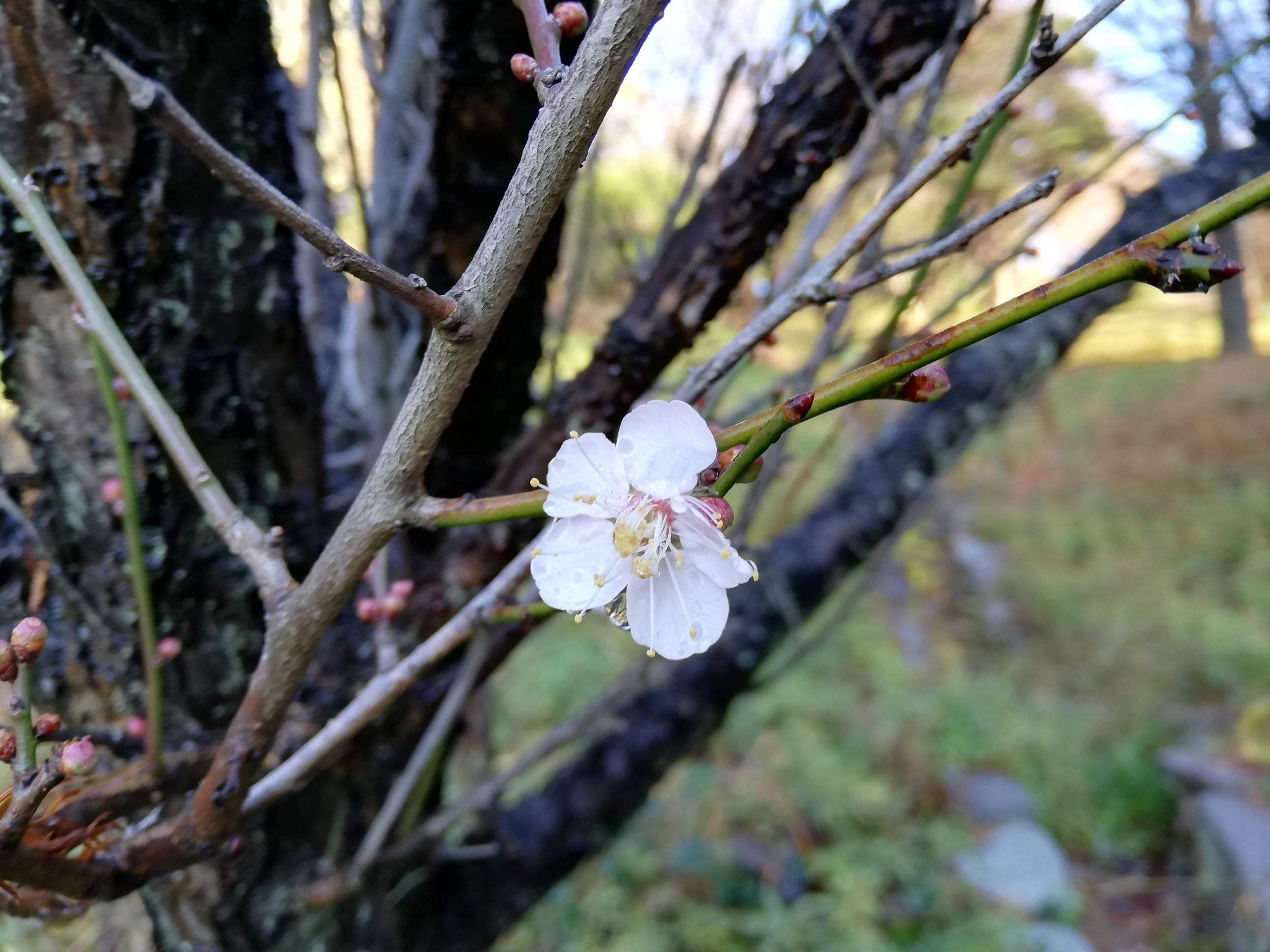冷たい雨に咲いていた老の山公園の梅の花
